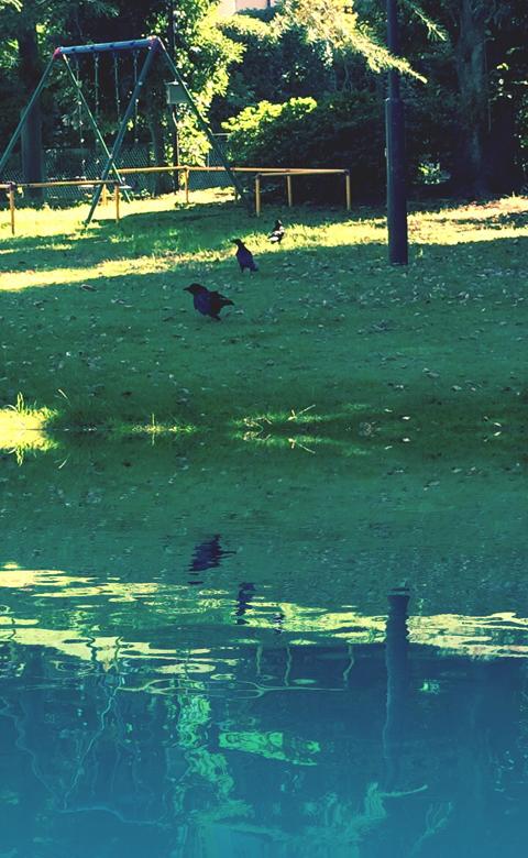 公園で撮影したカラス